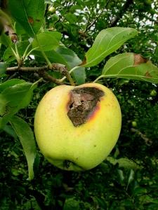 1 - apple